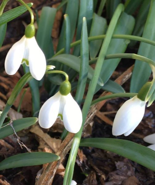 Scottish Snowdrop Festival