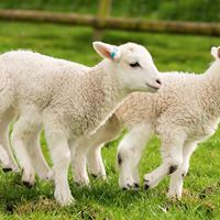 Lambing Day
