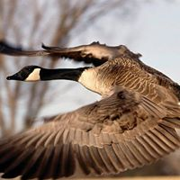 Canada Geese Management Training