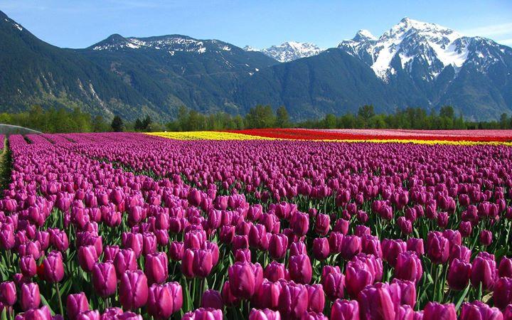 Kashmir Tulip Festival 2017