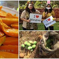 Mango Picking &amp Tasting Tour at Ratnagiri