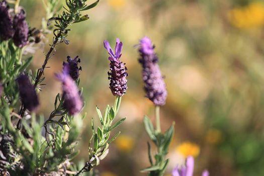 Plantas Aromticas e Medicinais. Identificao e Aplicao