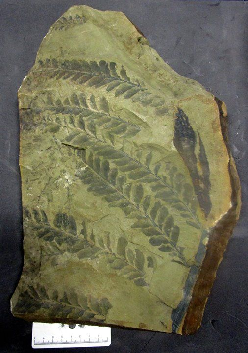 Devonian Plant Fossils A window into the past