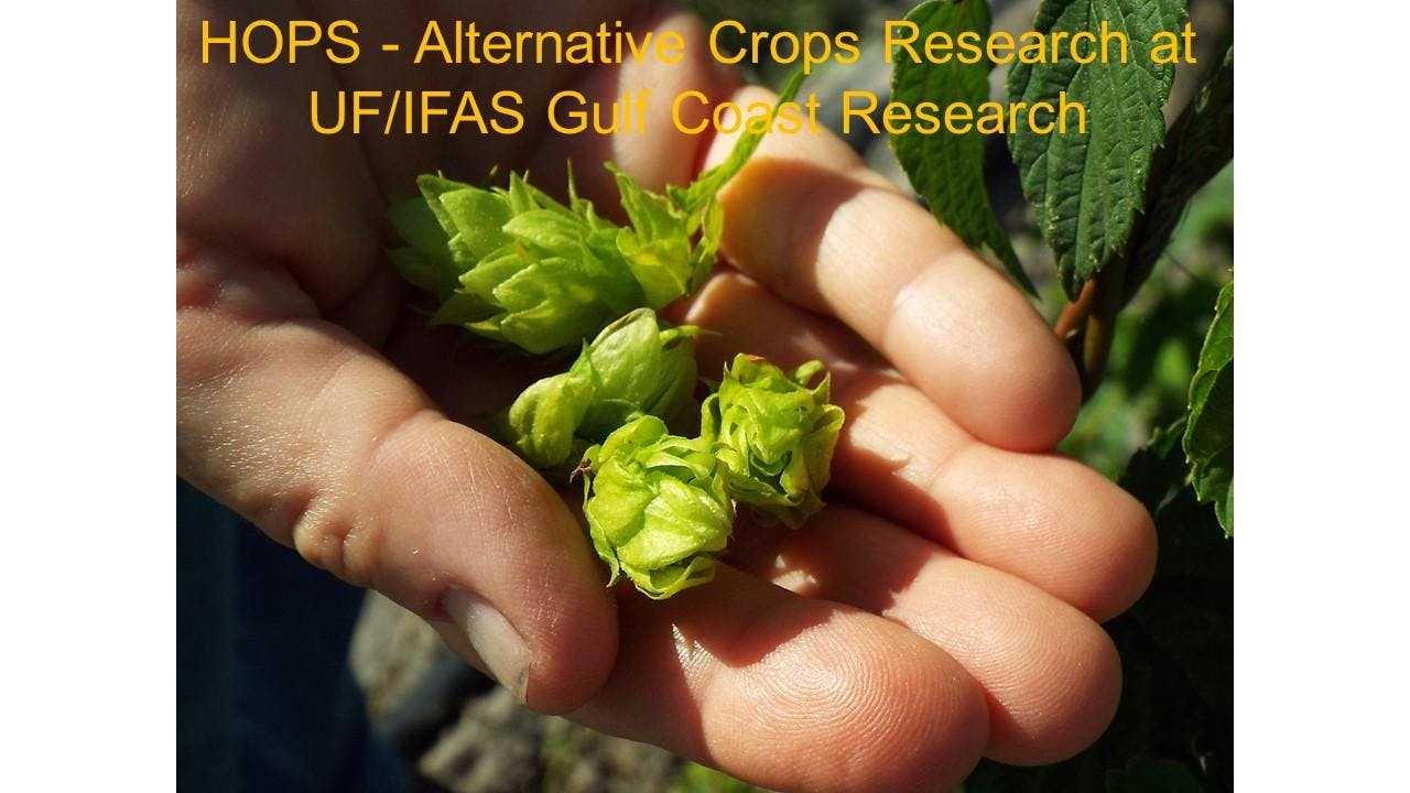 Hops Field Day - Alternative Crops Research at GCREC