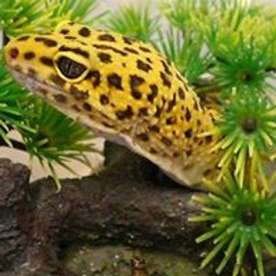 Cambridge Gecko