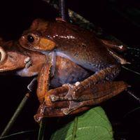 Anfibi e rettili del Madagascar. Biodiversita in pericolo