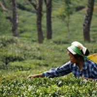 Tea Sommelier and Sensory Training at Darjeeling