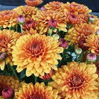 Bay Area Chrysanthemum Society Flower Show
