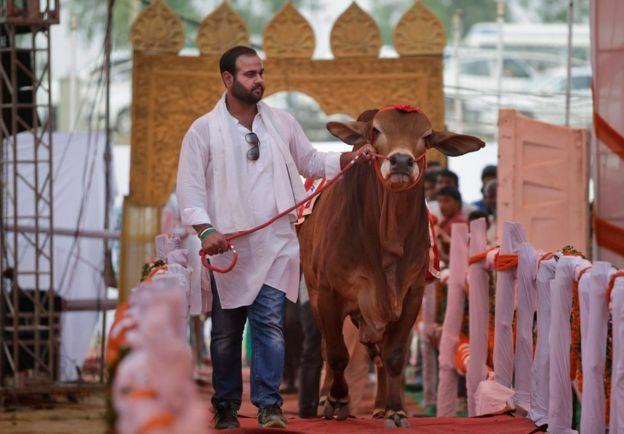 Image result for cow catwalk in karachi