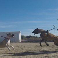 Perros Reactivos - Curso de educacin canina