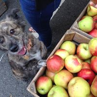 Dogs &amp Apples Event at Stribling Orchard