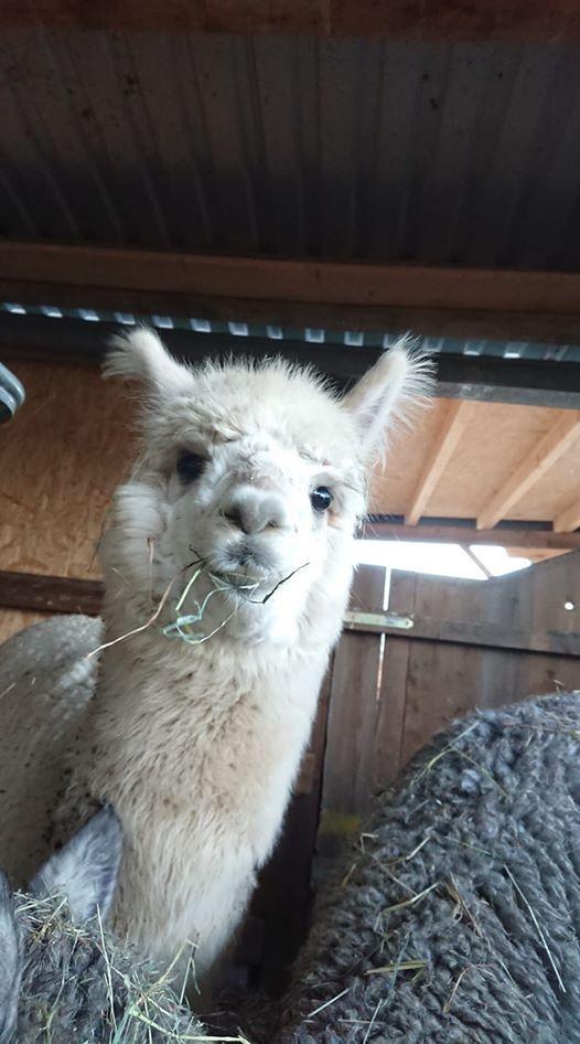 Lama und Alpakawanderung