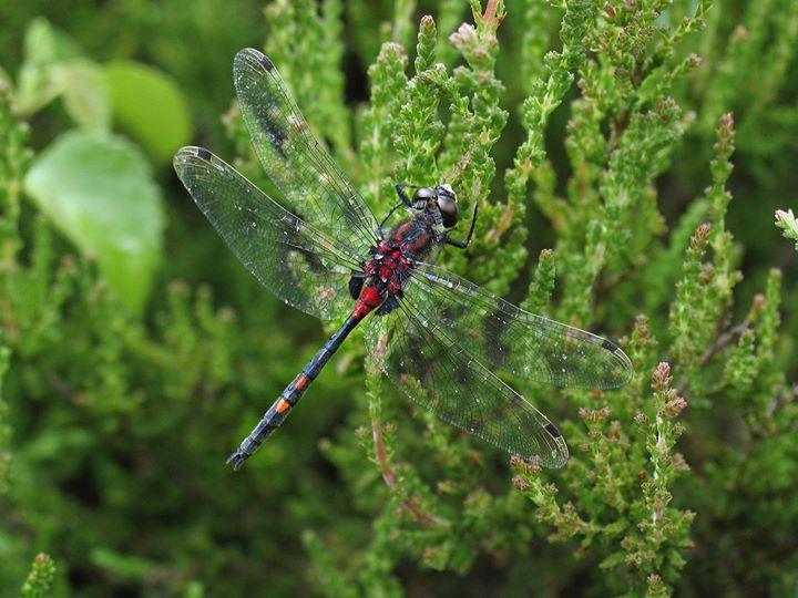Dragonflies of Chartley Moss
