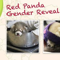 Red Panda Gender Reveal Party