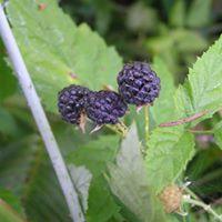 Wild Edible Plants Foraging &amp Herbal Medicine Making