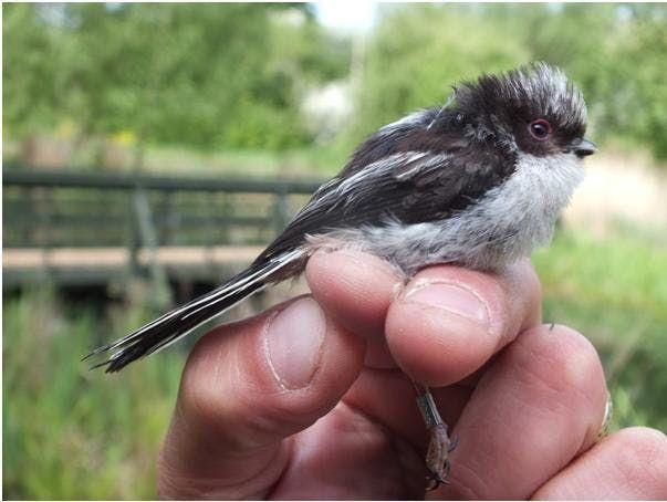 Bird Ringing Demonstration