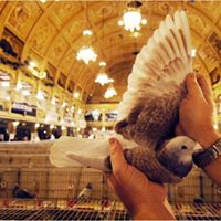 Pigeon Show - at Blackpool Winter Gardens