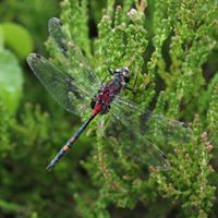 Dragonflies of Chartley Moss