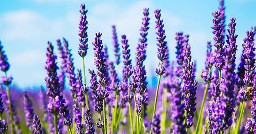 Lavender planting on Harvest Fields Park