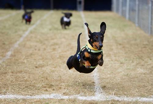 Daytona Beach Dog Track Results >> Halloweenie: Weenie Dog Races at Retama Park Race Track, Selma