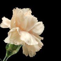 OTS White Carnation Gala 2017