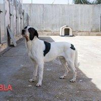 Adopta Perros de Raza (perrera de Toledo)