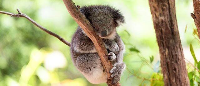 DreamTrips - Koalas Kangaroos & Culture in Brisbane