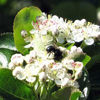 Native Mason Bees