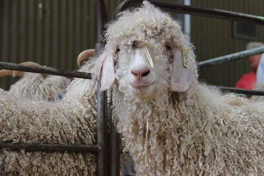 Goats At Berwick Show