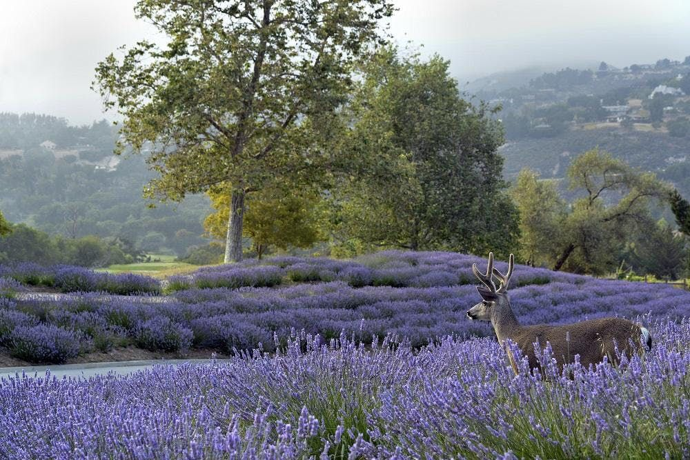 2019 Carmel Valley Ranch Lavender Harvest Festival | Carmel-by-the-Sea