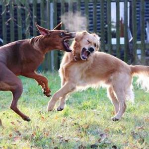 Wykad Piku atakuje inne psy Psi jzyk Komunikacja agresywna
