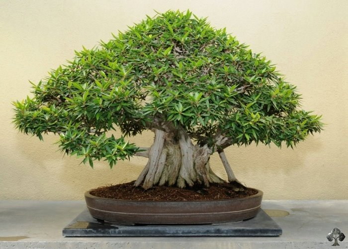 25 Most Popular Bonsai Trees Bonsai Tree Care Gardenoid