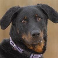 Leinenagressionder strefreie Weg aus reaktiven Hundebegegnunge