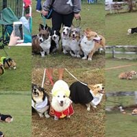 2018 North Carolina Corgi Picnic
