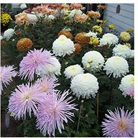 Growing Chrysanthemums in the Bay Area