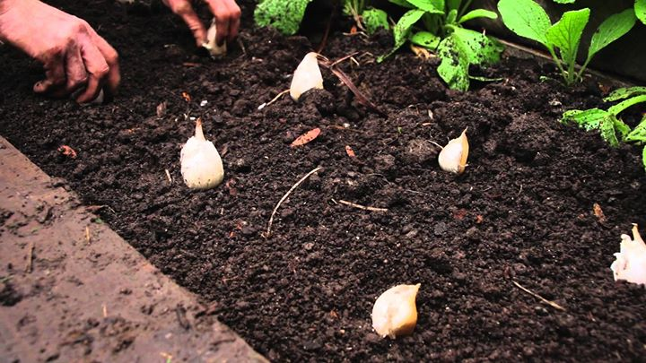 Garlic Planting Workshop