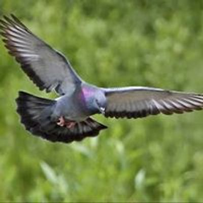 Pombos de Voo Livre