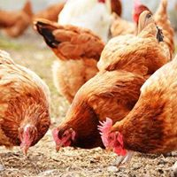 Poultry Feeding and Feed Formulation Training