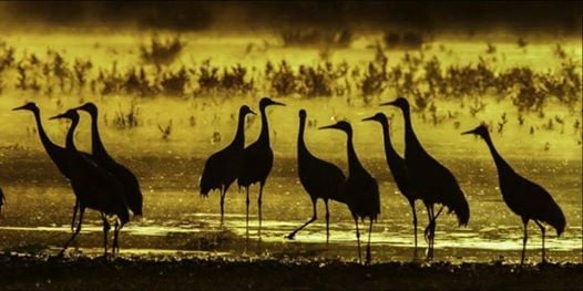 Come See the Sandhill Cranes - NEW DATE