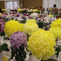 Sacramento Chrysanthemum Society Show At Shepard Garden And Arts Center Sacramento