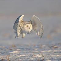 Snowy Owl Workshop