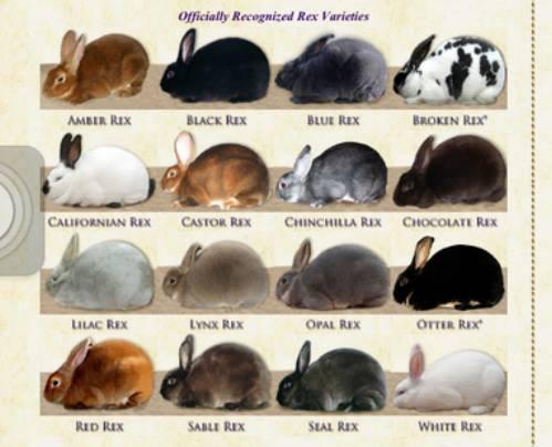 Open Novice Rabbit Show At Harrison County Fairgrounds Corydon