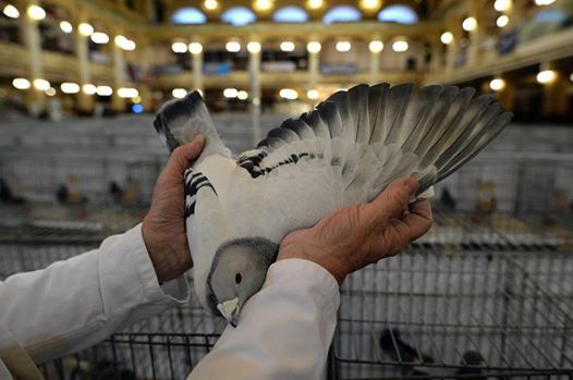 Blackpool Pigeon Show 2019 at Blackpool Winter Gardens