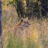 Tadoba - The Land of the Tiger