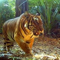 Save The Tiger: Myanmar Chapter