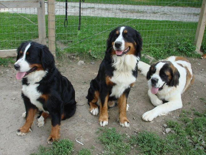 Bernese Mountain Dog Puppies Az