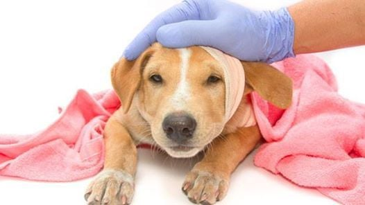 Canine first-aid Bristol. Taught by a vet