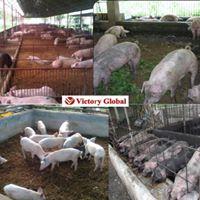 Inoculated Deep Bedding No Wash Organic Hog Raising