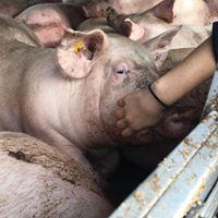 Boxtel Pig Save
