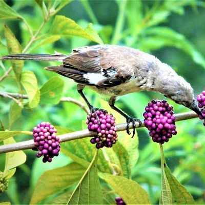 Native Plants to Attract Birds (webinar)